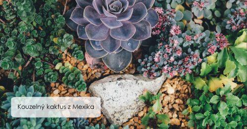 Kouzelný kaktus s Mexika